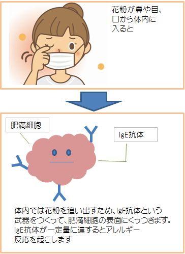 花粉症のメカニズム1